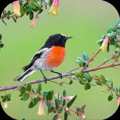 Robin. Birds Wallpaper icon