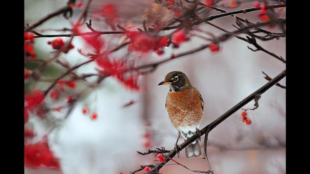 Robin. Birds Wallpaper screenshot 1