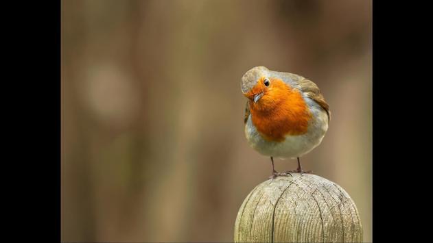 Robin. Birds Wallpaper screenshot 2
