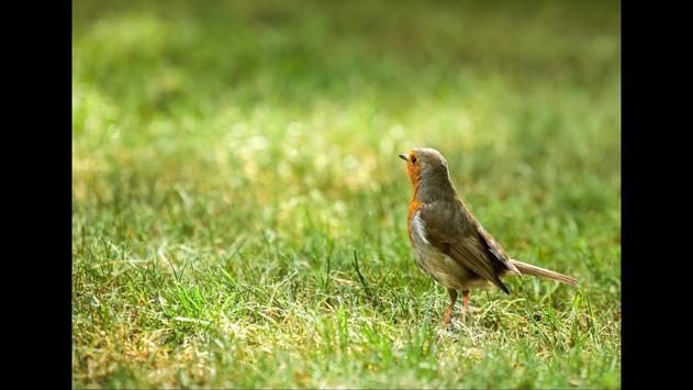 Robin. Birds Wallpaper screenshot 3