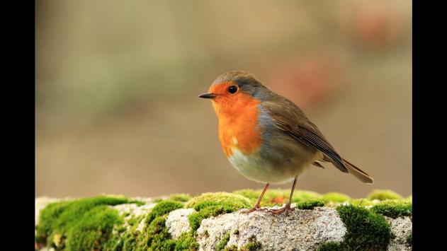 Robin. Birds Wallpaper screenshot 4