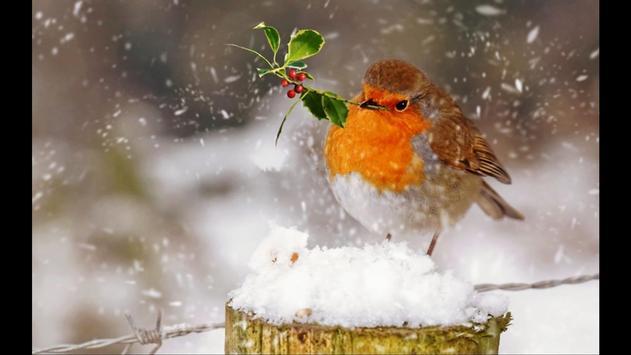 Robin. Birds Wallpaper screenshot 5