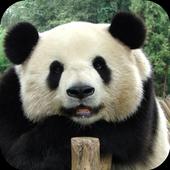 Cute panda. Live wallpapers icon