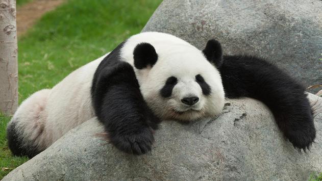 Cute panda. Live wallpapers apk screenshot