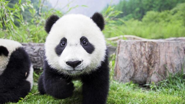 Cute panda. Live wallpapers poster