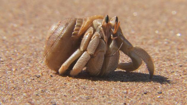 Crab. Live wallpapers apk screenshot