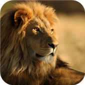 African Lions. Live wallpapers icon