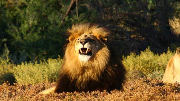 African Lions. Live wallpapers apk screenshot