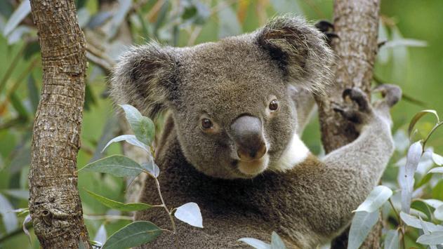 Koala. Live wallpapers apk screenshot