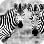 Zebra style. Live wallpapers icon