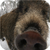 Wild Boar. Live wallpapers icon