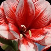 Amaryllis flower LiveWallpaper icon