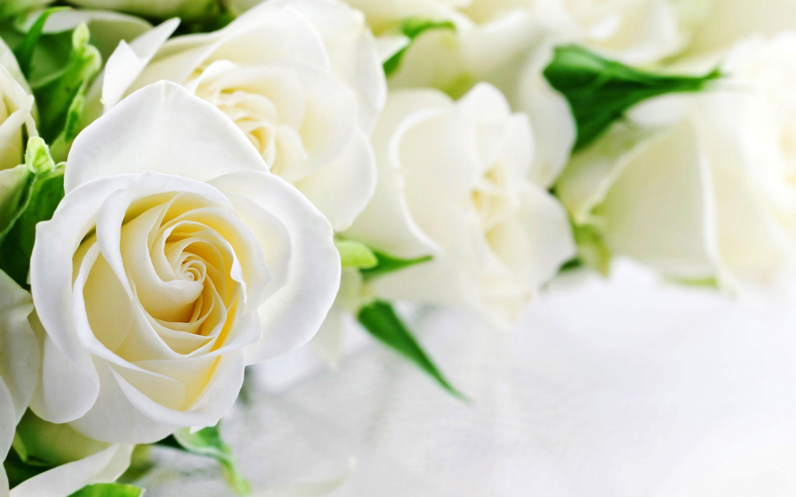 White Rose Live Wallpaper For Android APK Download