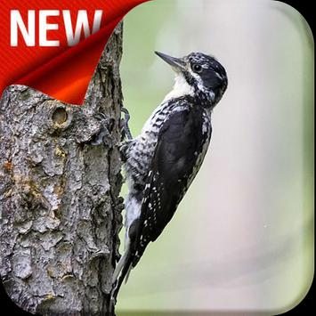American Three Toed Woodpecker Bird Sounds poster