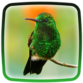Hummingbird Live Wallpaper icon