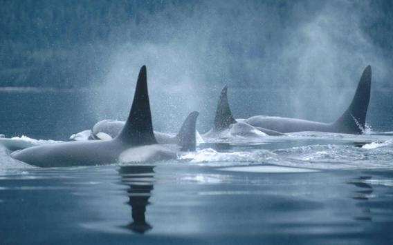 Orca live wallpaper apk download free personalization app for orca live wallpaper apk screenshot altavistaventures Gallery