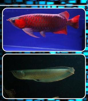 Arowana Fish Contest poster