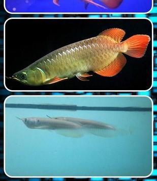 Arowana Fish Contest screenshot 1