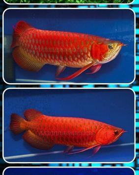Arowana Fish Contest screenshot 2