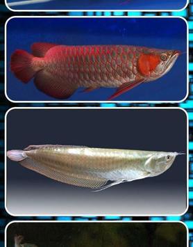 Arowana Fish Contest screenshot 3