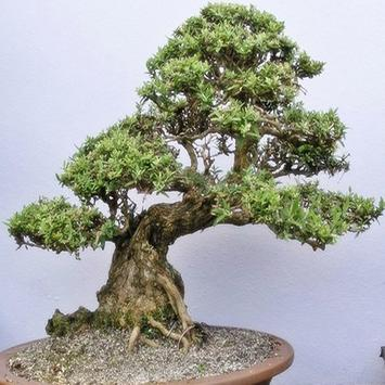 Beauty Of Bonsai poster