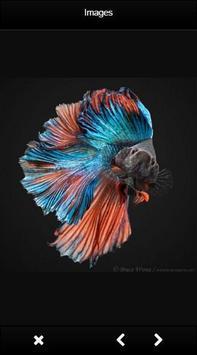 Beautiful Betta Fish apk screenshot