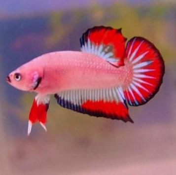 Betta Fish 3D apk screenshot