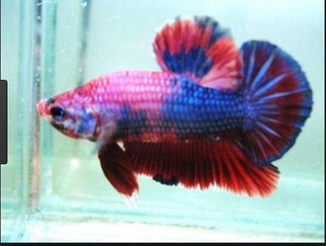 Betta fish screenshot 23