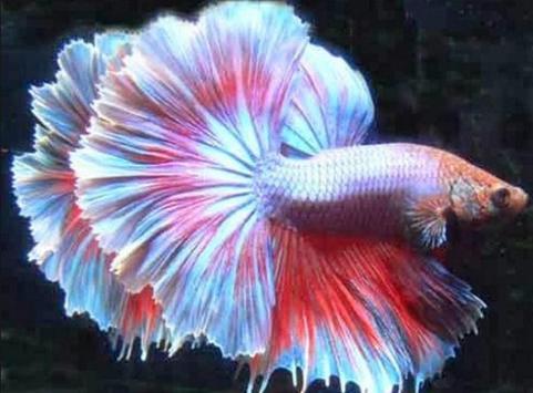 Betta fish screenshot 2
