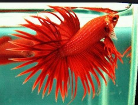Betta fish screenshot 4