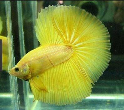 Betta fish screenshot 5