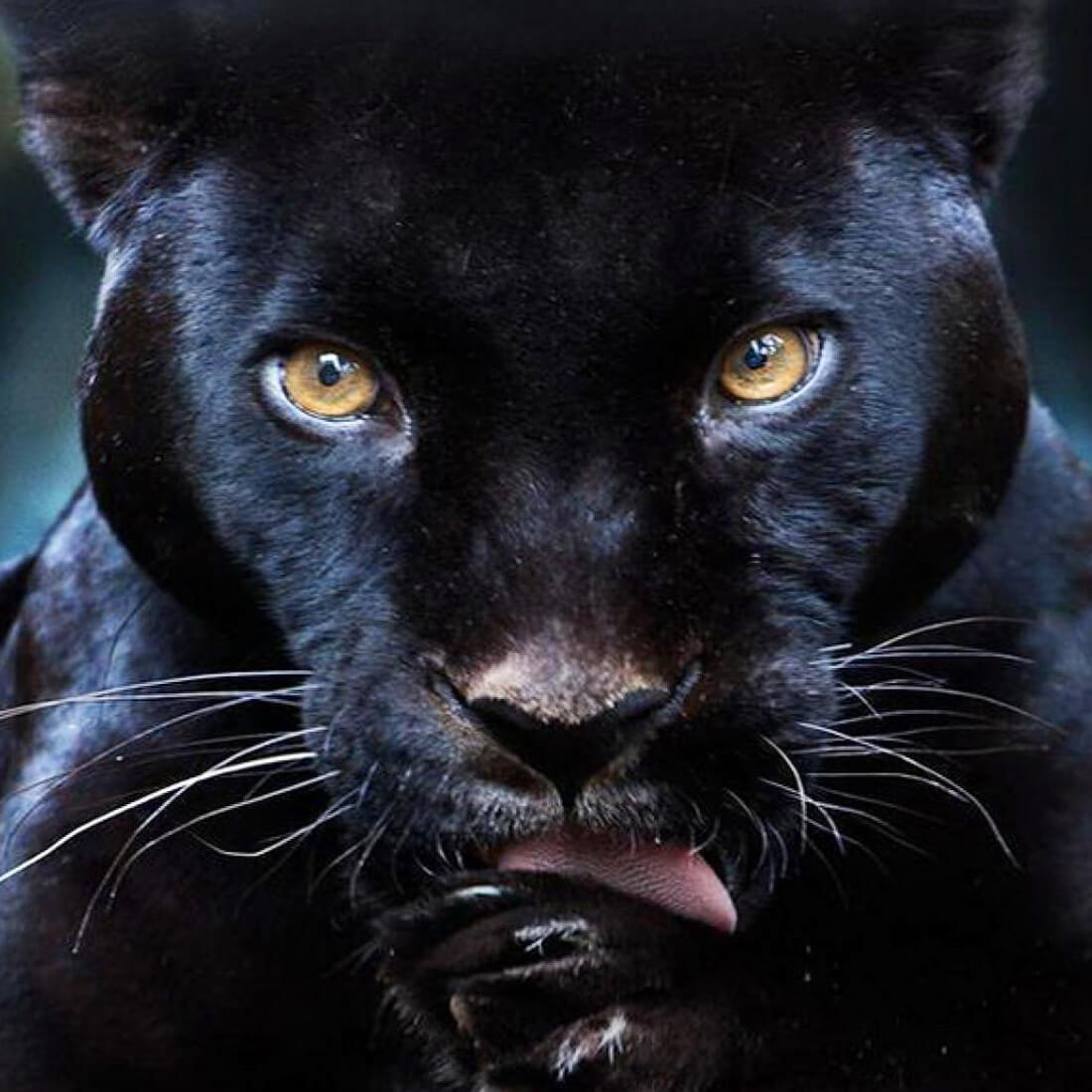 Black Panther Live Wallpaper For Android Apk Download