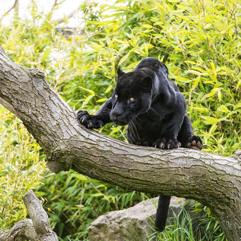 Black Wild Cat Photos