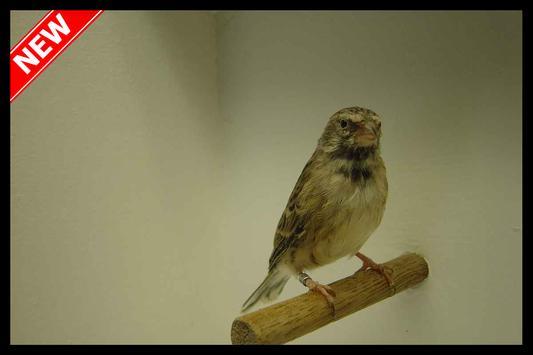 Canaries Blackthroat apk screenshot