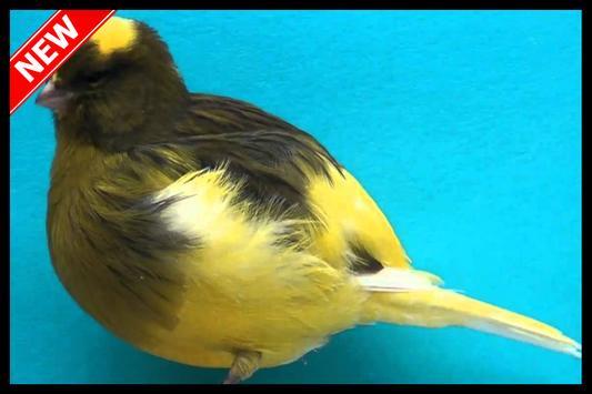 Best Canaries Singing Mp3 apk screenshot