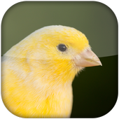 Canary Bird Sounds 2017 icon