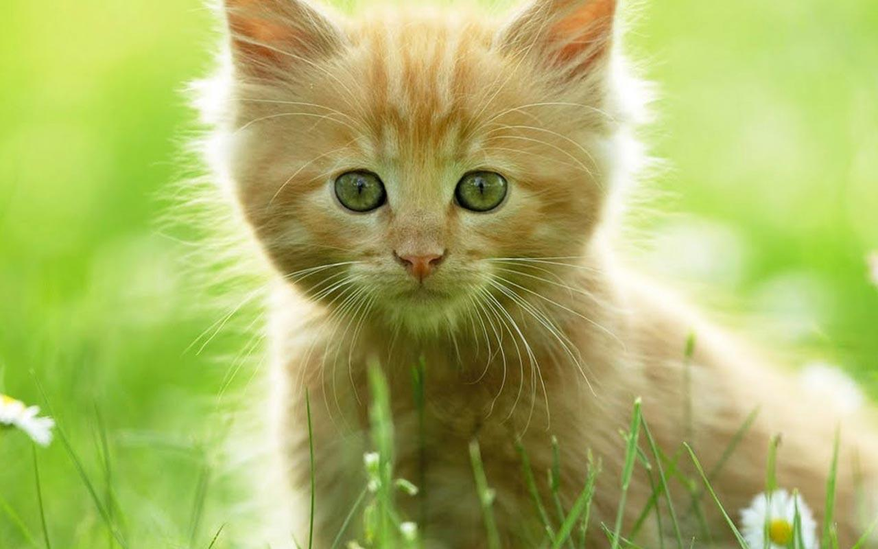 Kucing Batu Wallpaper Foto Kucing Hutan Sang Leopard Yang