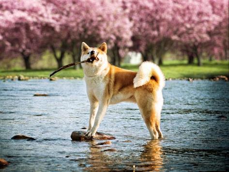 Akita Dog Live Wallpaper apk screenshot