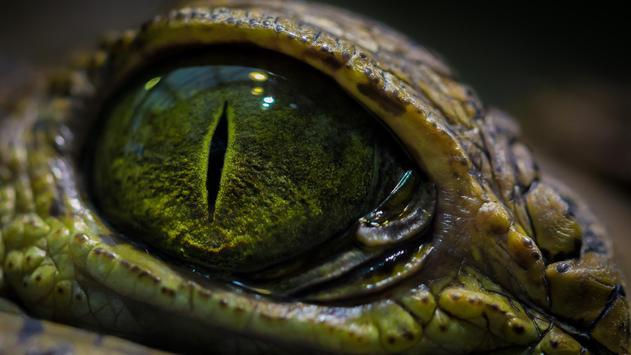Alligator Live Wallpaper apk screenshot