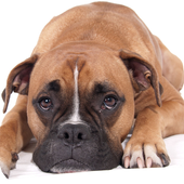 Boxer Dog Pack 3 Wallpaper icon