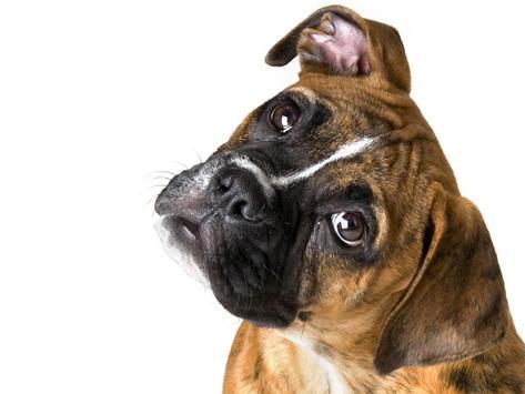 Boxer Dog Pack 3 Wallpaper apk screenshot