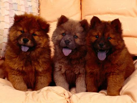 Chow Chow Pack 2 Wallpaper poster
