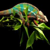 Chameleon Wallpaper icon