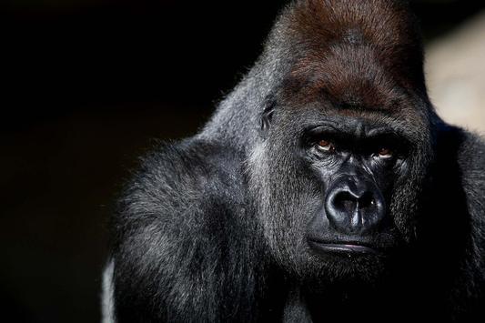 Gorilla Live Wallpaper apk screenshot