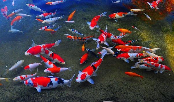 Koi Fish Live Wallpaper Japan Poster