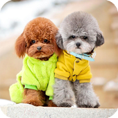 Poodle Dog Wallpaper icon
