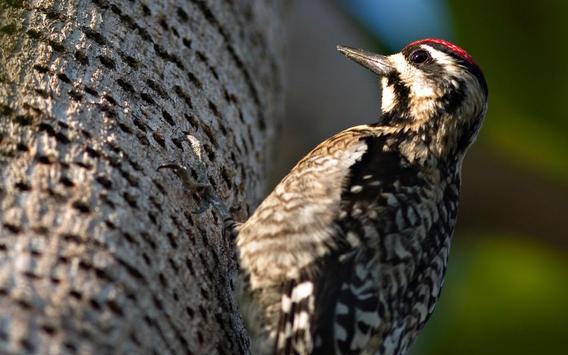 Woodpecker Live Wallpaper apk screenshot