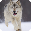 Wolf Live Wallpaper Animal icon
