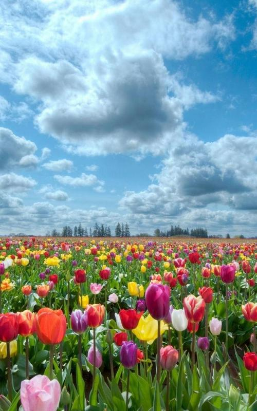 colorful tulips live wallpaper apk download free