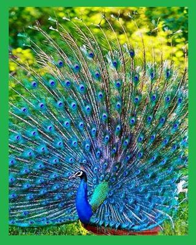 Koleksi Gambar Burung Merak Screenshot